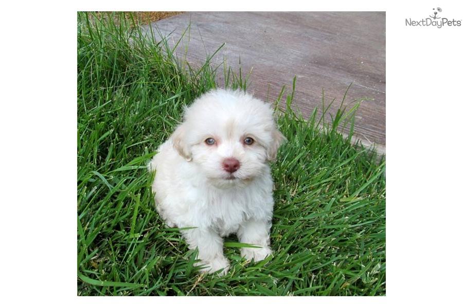 chocolate maltipoo puppies - photo #32