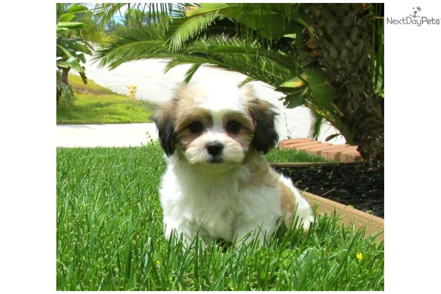 Mal-Shi - Malshi puppy for sale near San Diego, California ...