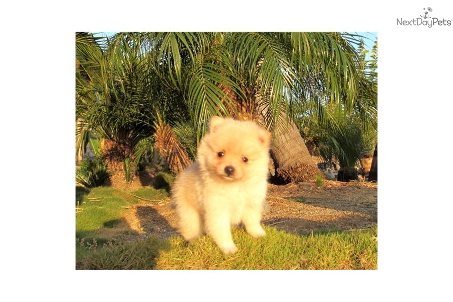 pomeranian san diego meet chloe kiwi a cute pomeranian puppy for sale for 3993