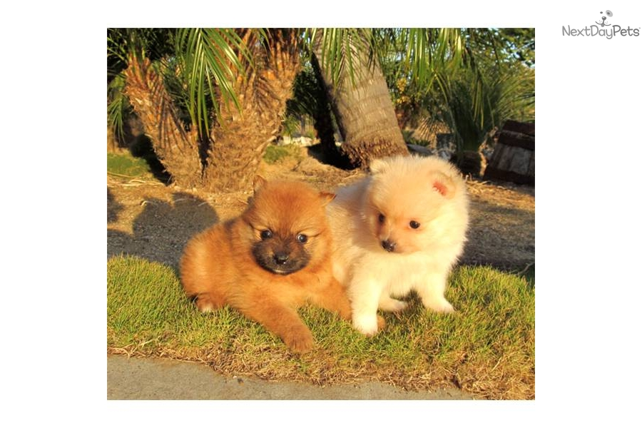 pomeranian san diego pomeranian puppy for sale near san diego california 8540