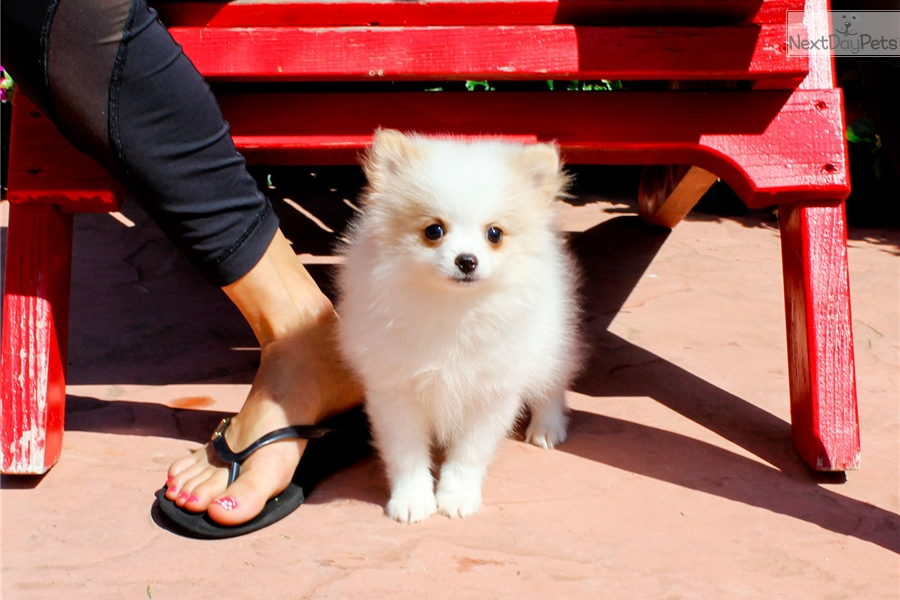 pomeranian puppies for sale in san diego pomeranian puppy for sale near san diego california 3175