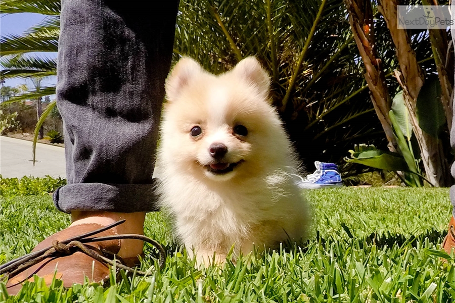 pomeranian puppies for sale in san diego pomeranian puppy for sale near san diego california 9128