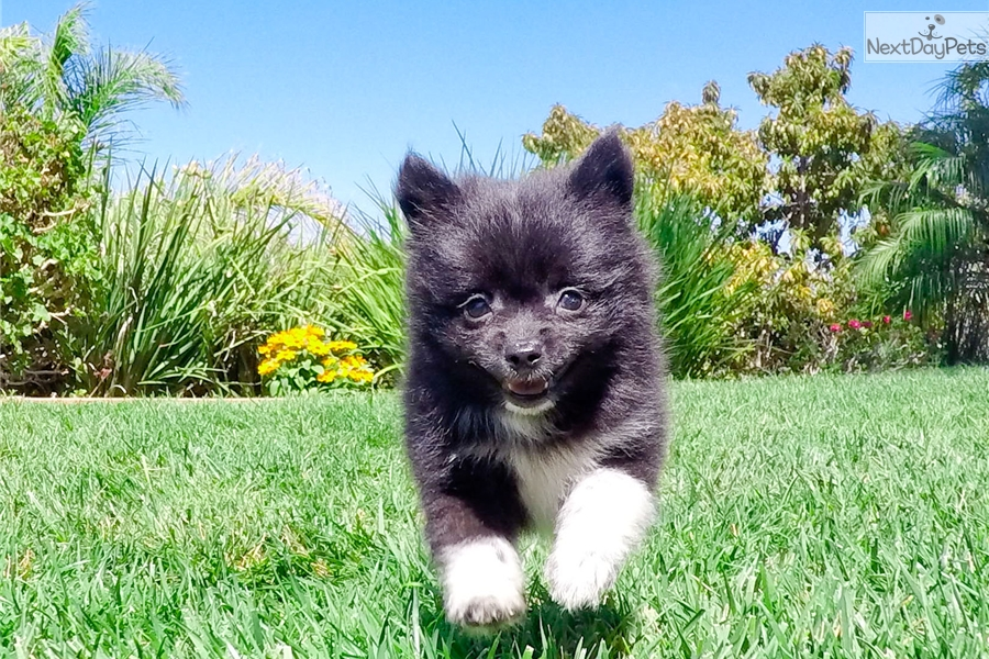 pomeranian puppies for sale in san diego pomeranian puppy for sale near san diego california 6968