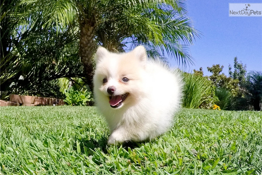 pomeranian puppies for sale in san diego pomeranian puppy for sale near san diego california 4783