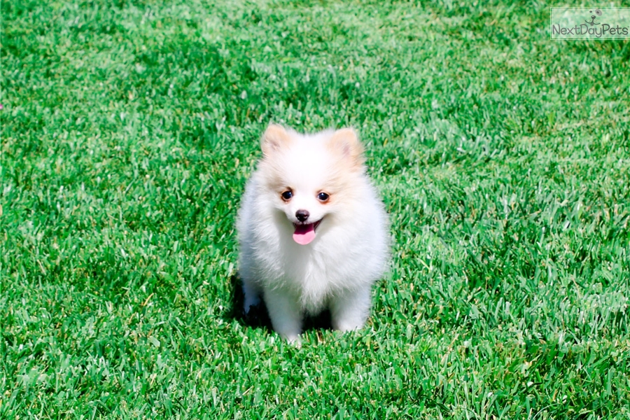 pomeranian puppies for sale in san diego pomeranian puppy for sale near san diego california 5912