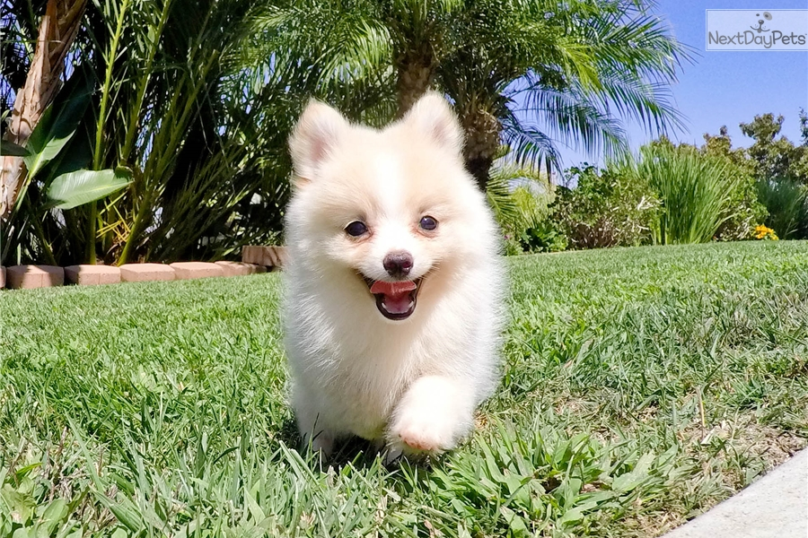 pomeranian puppies for sale in san diego pomeranian puppy for sale near san diego california 7071