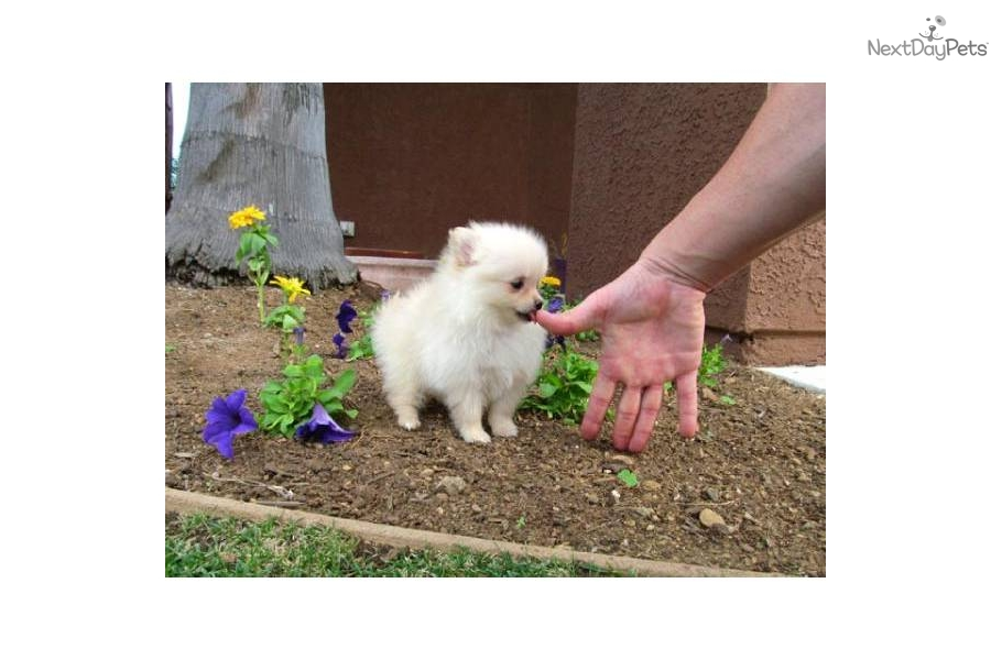 pomeranian puppies for sale in san diego pomeranian puppy for sale near san diego california 4937