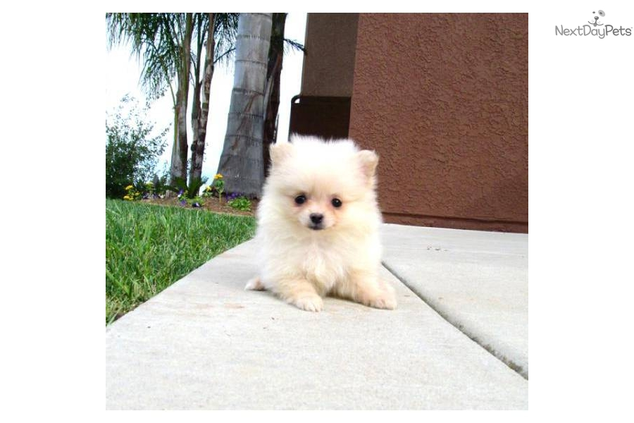 pomeranian san diego pomeranian puppy for sale near san diego california 8189