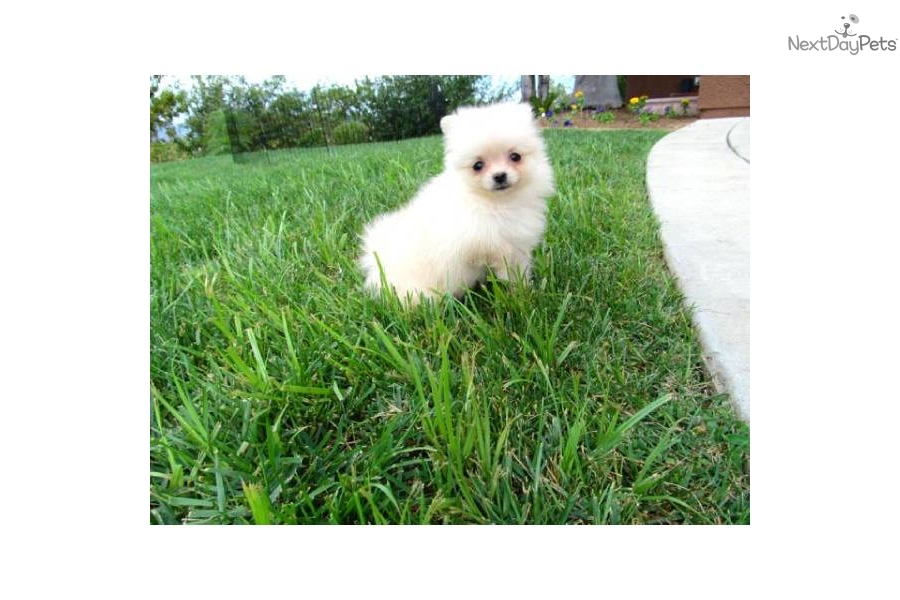 pomeranian puppies for sale in san diego pomeranian puppy for sale near san diego california 9217