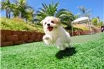 Picture of a Malti Pom - Maltipom Puppy