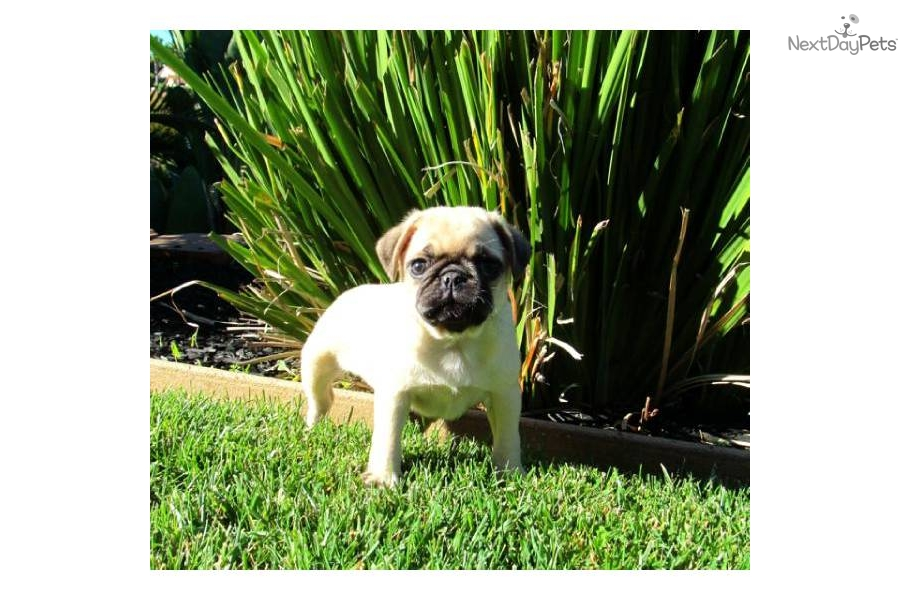 pug puppies san diego meet fiona a cute pug puppy for sale for 850 video ad 7243