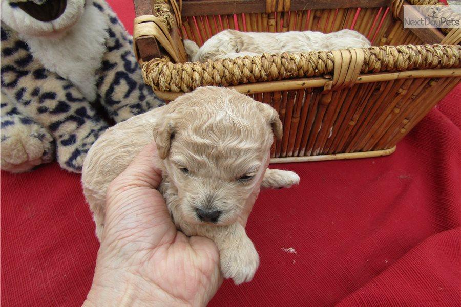 Benjy: Cockapoo puppy for sale near Manhattan, Kansas
