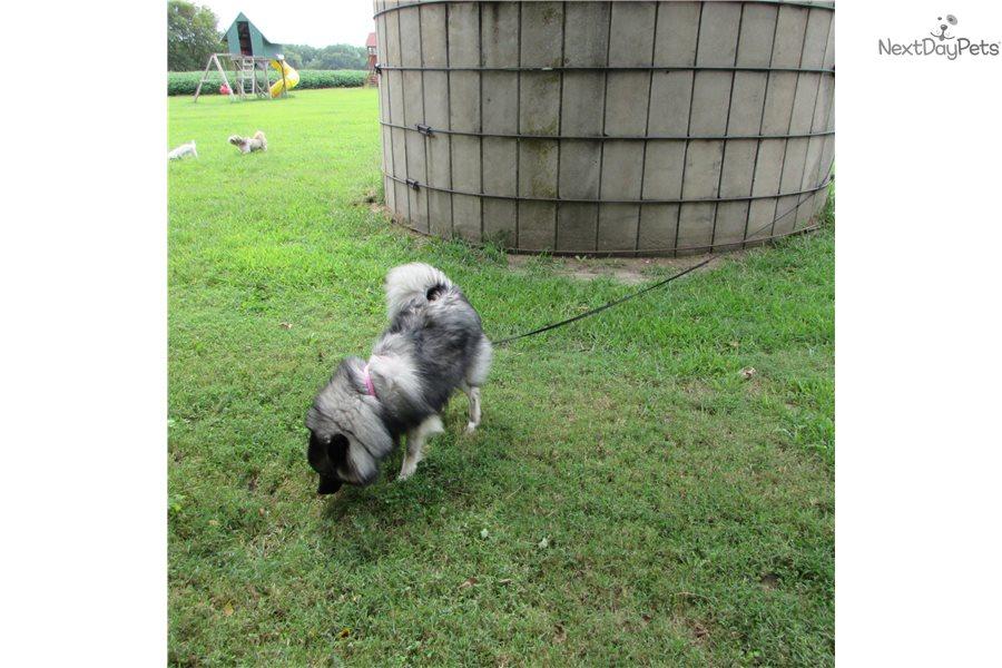 Nikki: Keeshond puppy for sale near Manhattan, Kansas ...