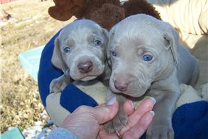 Baby Blue | Puppy at 2 weeks of age for sale