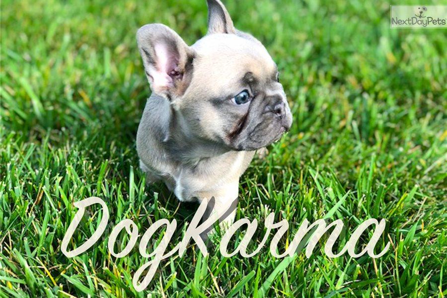 Prada French Bulldog Puppy For Sale Near Los Angeles