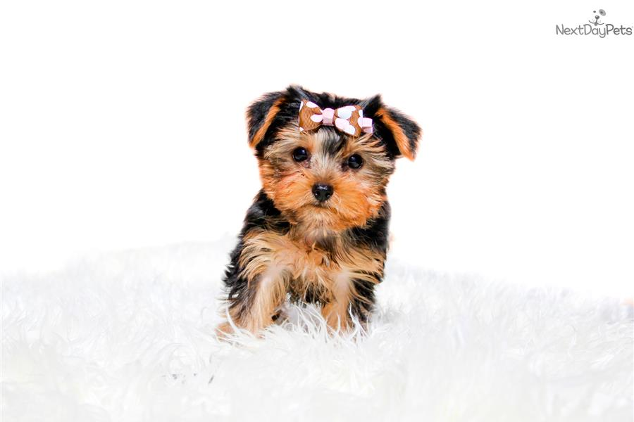 teacup yorkie breeders near me yorkshire terrier yorkie puppy for sale near san diego 1594