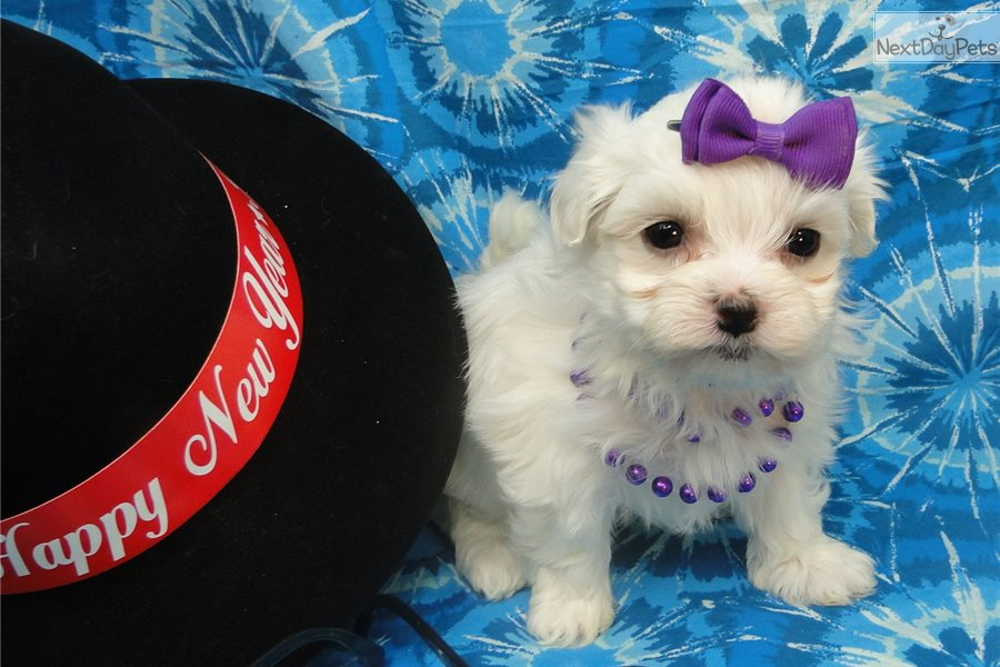 maltese puppies for sale in oklahoma laney maltese puppy for sale near tulsa oklahoma 5084