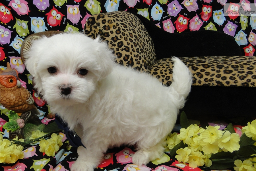 maltese puppies for sale in oklahoma maxwell maltese puppy for sale near tulsa oklahoma 6342