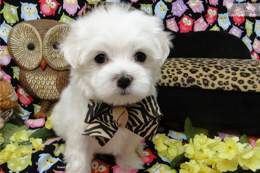 maltese puppies for sale in oklahoma maltese puppy for sale near tulsa oklahoma 8ae7bd71 c0e1 6559