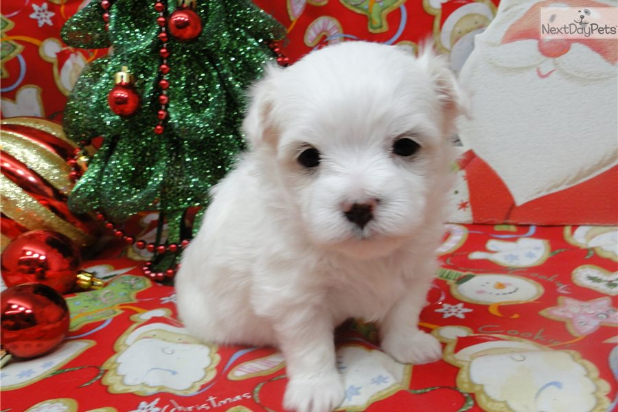 maltese puppies near me maddy maltese puppy for sale near tulsa oklahoma 868