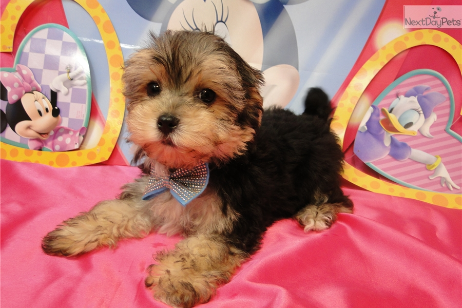 Darwin: Morkie / Yorktese puppy for sale near Tulsa, Oklahoma