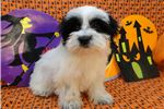 Picture of BESS - AKC REGISTERED -  REDUCED PRICE ~ SPAYED