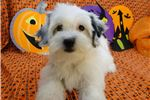 Picture of LESLEY - AKC REGISTERED -  REDUCED PRICE ~ SPAYED
