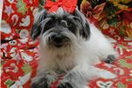Picture of LUCY ~~ SPAYED ~~ AKC REGISTERED -