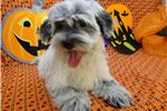 Picture of LARRY -- AKC REGISTERED --  REDUCED PRICE