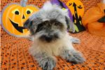 Picture of LUCY - AKC REGISTERED -  REDUCED PRICE ~ SPAYED