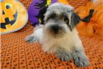 Picture of LIBBY -- AKC REGISTERED --  REDUCED PRICE
