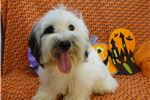 Picture of BRADLEY -- AKC REGISTERED --  REDUCED PRICE