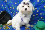 Picture of MINDY ~~  AKC REGISTERED ~~  WWW.JACOKENNEL.COM