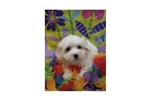 Picture of a Coton De Tulear Puppy