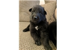 Picture of AKC Belgian Sheepdog puppy