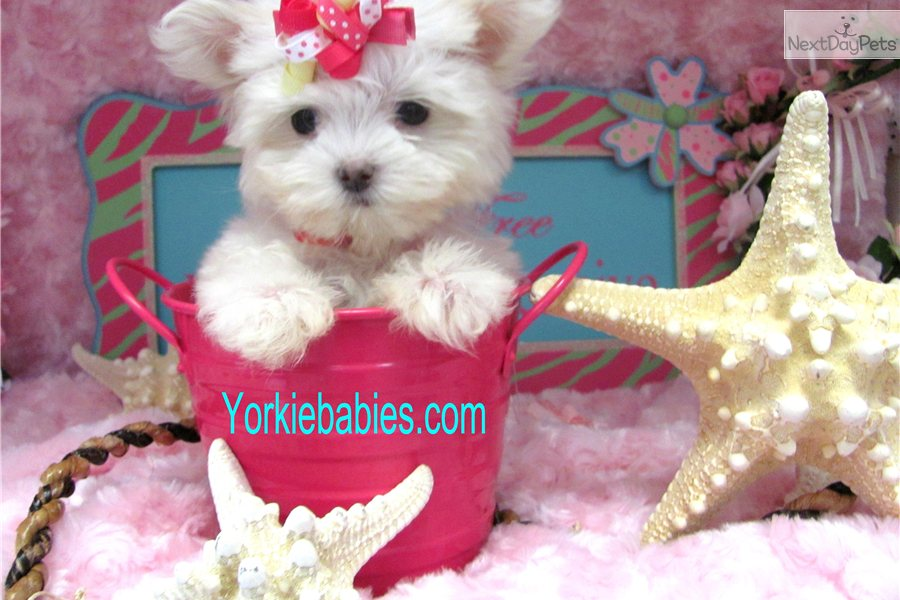Teacup Dogs For Sale In Ny