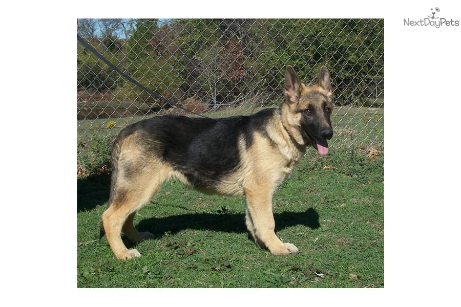 german shepherd neutering akc male german shepherd neutered german shepherd puppy 1478
