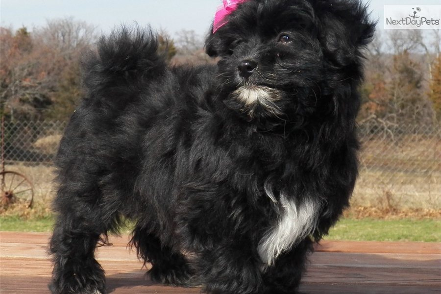 The gallery for --> Pomapoo Full Grown