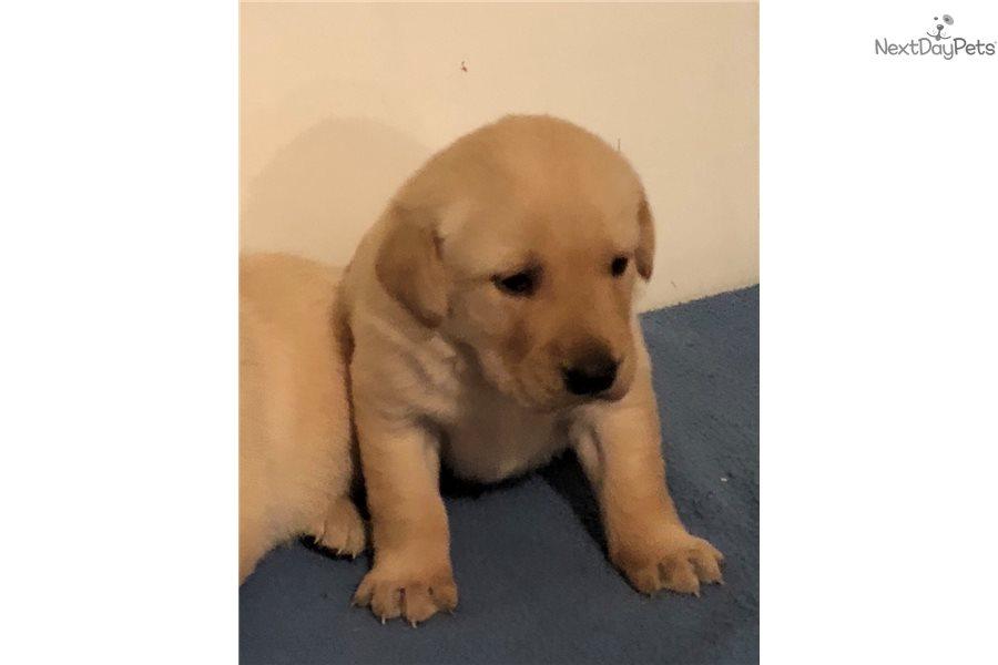 Golden Boy Goldador Puppy For Sale Near Southwest Mn Minnesota
