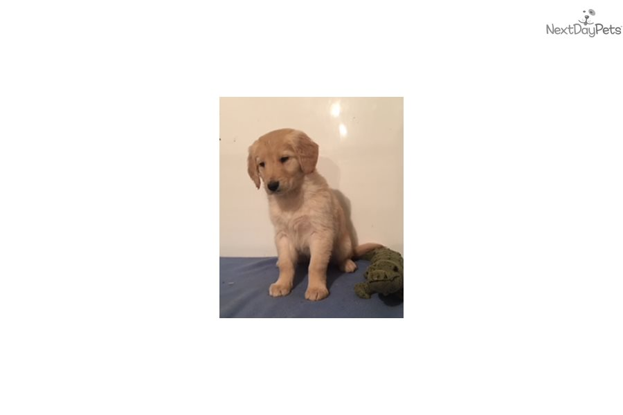 Golden Boy Golden Retriever Puppy For Sale Near Southwest Mn