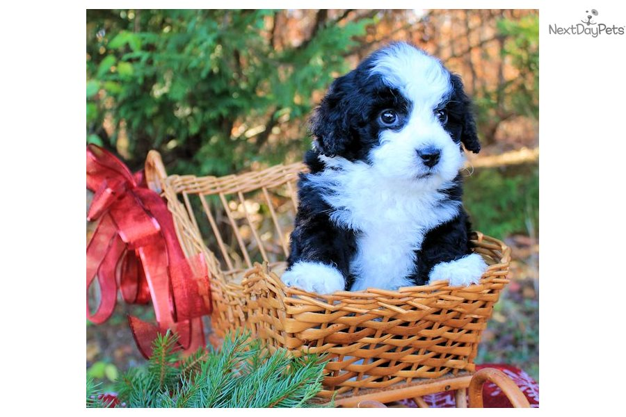 Bobby Bernedoodle Puppy For Sale Near Charlottesville