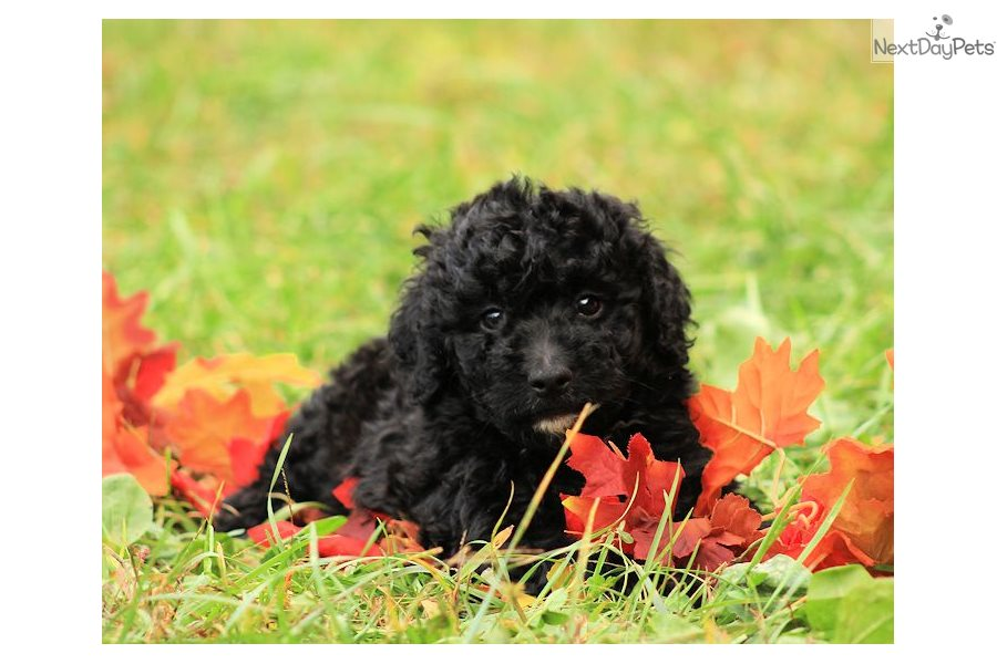 Patience Bernedoodle Puppy For Sale Near Charlottesville