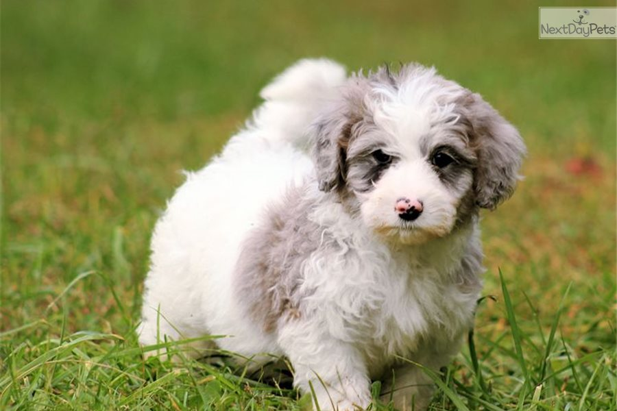 Sparkles Bernedoodle Puppy For Sale Near Charlottesville