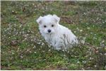 Picture of Kid-friendly Nonshedding cutie.  Microchipped Va