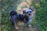 Picture of Merle Parti female  Microchipped Virginia