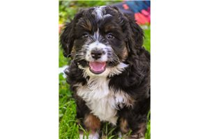 Picture of a Mini Bernedoodle Puppy