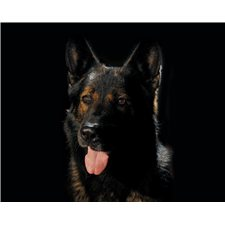 View full profile for Eichenluft Working German Shepherds