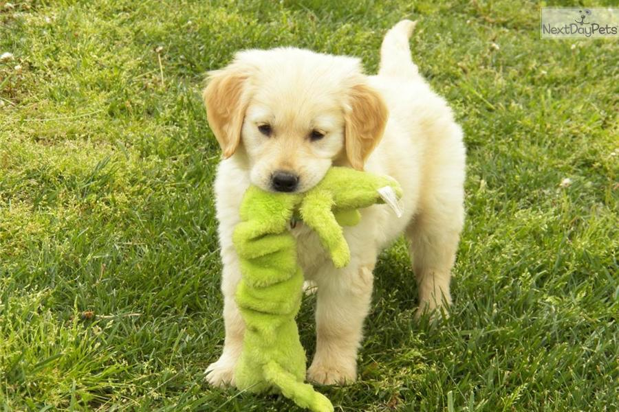Meet Maggie a cute Golden Retriever puppy for sale for ...