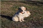 Picture of Sky a Golden Retriever male