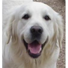 View full profile for White Creme Goldens